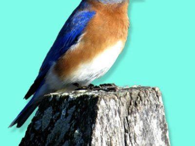 Bluebird Monitors Needed
